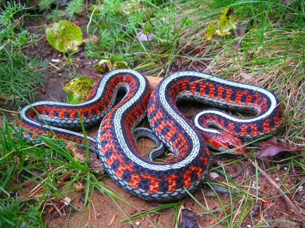 California Red Side Garter Snake