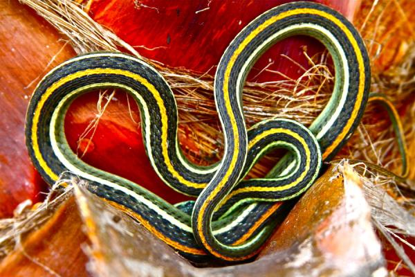 Colorful Ribbon Snake