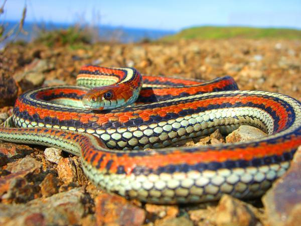 francisco garter snake 30 Amazing Garter Snake Pictures
