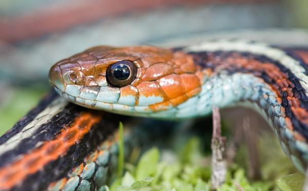 Garter Snake Listed As Endangered