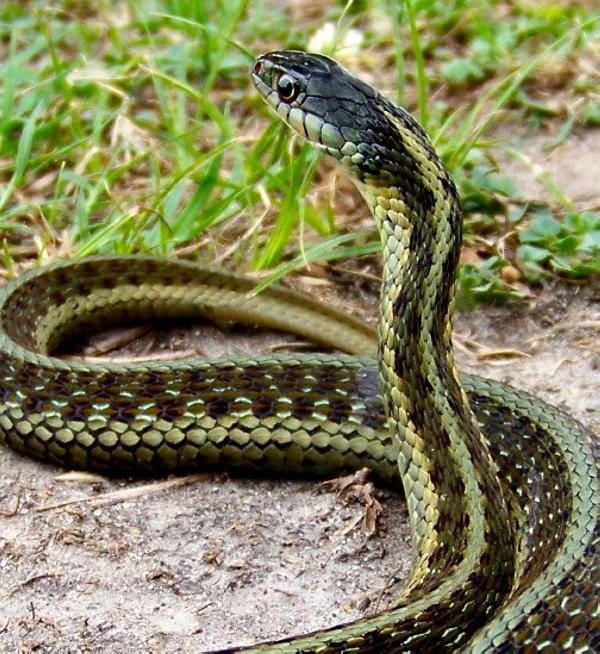 30 Amazing Garter Snake Pictures - SloDive
