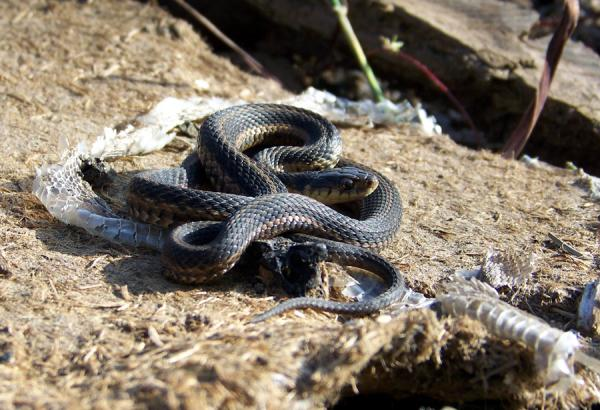 Garter Snake On The Rock