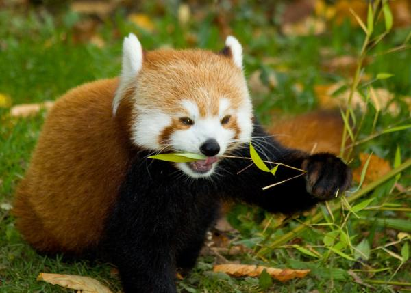chester firefox 25 Awing Red Panda Pictures