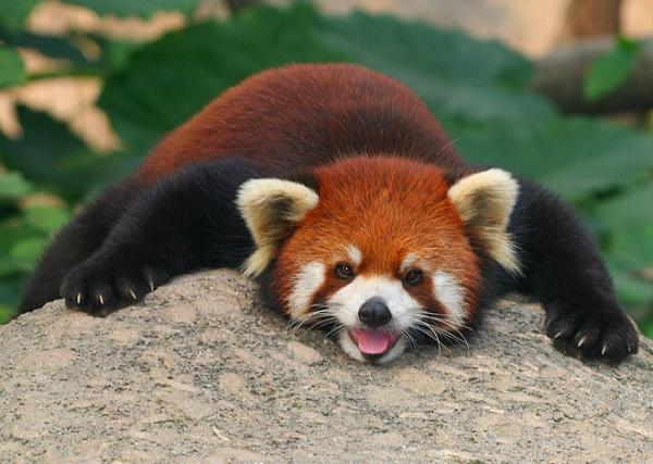 cool red panda 25 Awing Red Panda Pictures