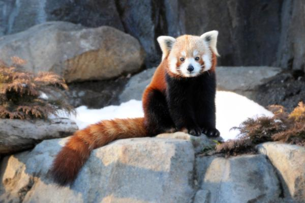 Cutest Red Panda