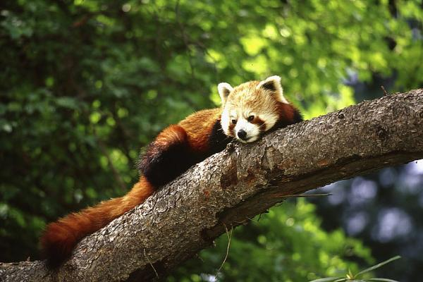 lazy red panda 25 Awing Red Panda Pictures