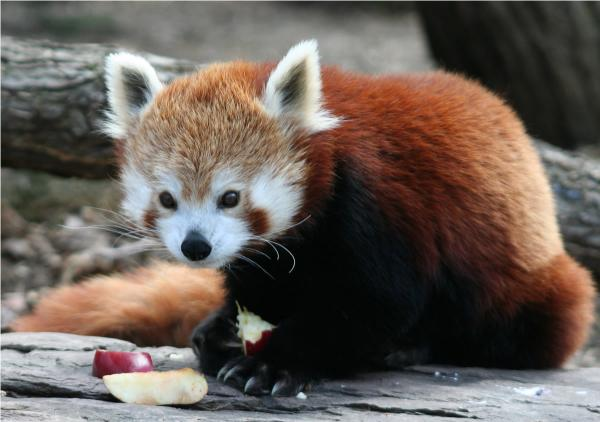 Red Panda At Lunch