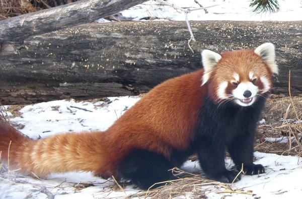 Red Panda At The Calgary Zoo