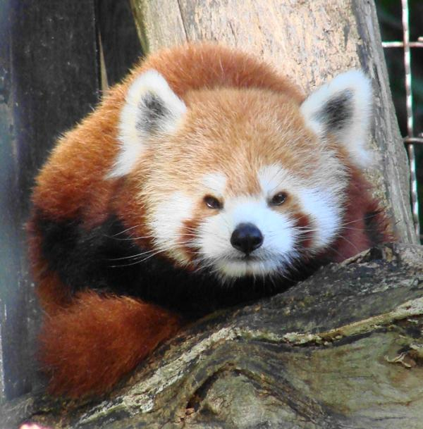 Red Panda Named Gordi