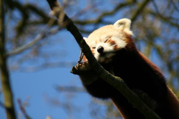 Red Panda Sleeping On Tree
