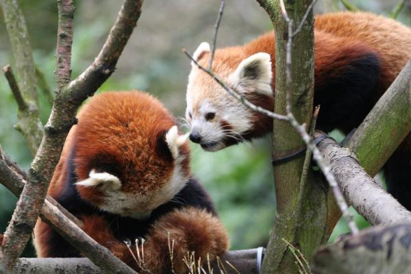 two red pandas 25 Awing Red Panda Pictures