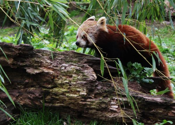 woody red panda 25 Awing Red Panda Pictures