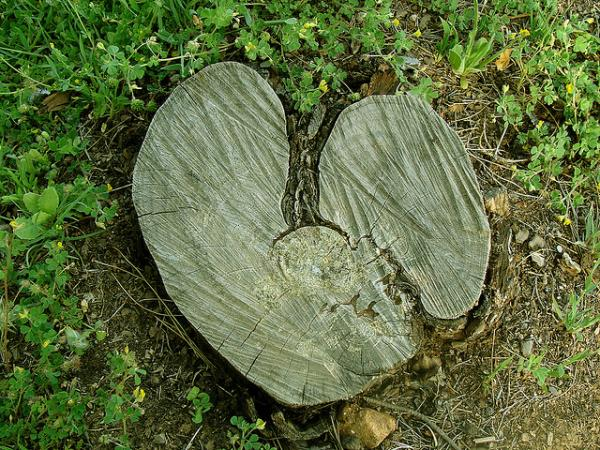 Broken Hearts Of Tree Trunk