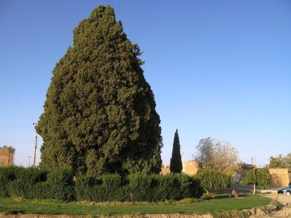 Abarkuh Cypress Tree