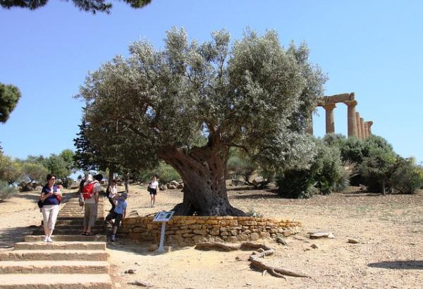 Olive Tree At the Temple