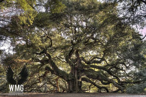 Giant Angel Oak Live