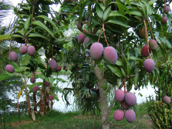 mango trees 65 Pictures Of Trees To Make You Love Nature More