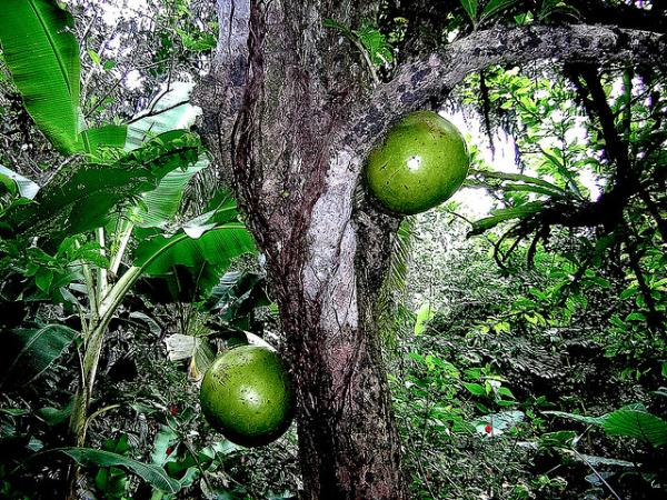 Rainforest Fruit Tree