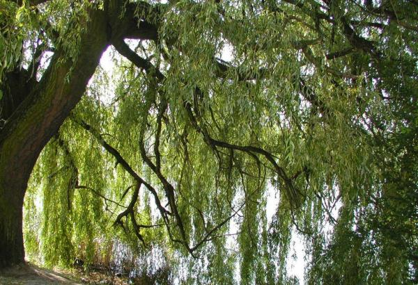 Summer Willow Tree