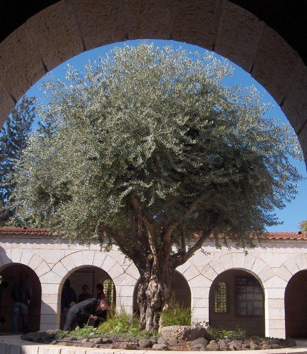 tabghan olive tree 65 Pictures Of Trees To Make You Love Nature More