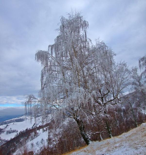 Winter Willow Tree