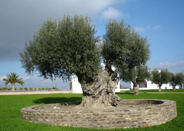 wow olive tree 65 Pictures Of Trees To Make You Love Nature More