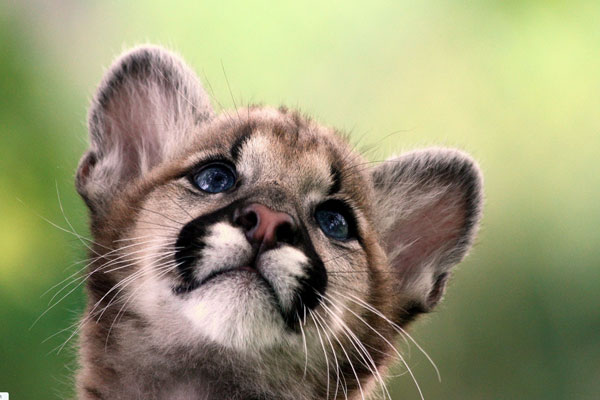 mountain lion baby 30 Mac OS X Lion Wallpaper Collection You Cant Afford To Miss