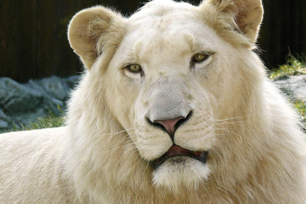 white lion apple 30 Mac OS X Lion Wallpaper Collection You Cant Afford To Miss