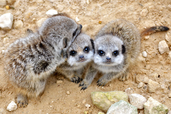baby meerkats 30 Lovely Pictures of Baby Animals