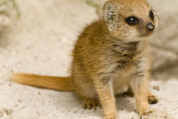 baby mongoose 30 Lovely Pictures of Baby Animals