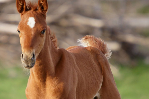 egyptian arabian colt 30 Lovely Pictures of Baby Animals
