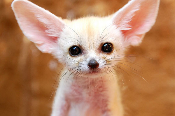 fennec fox 30 Lovely Pictures of Baby Animals
