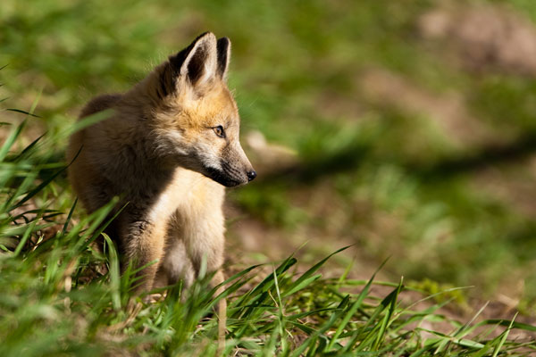 fox kit 30 Lovely Pictures of Baby Animals
