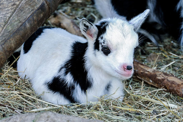 goat 30 Lovely Pictures of Baby Animals