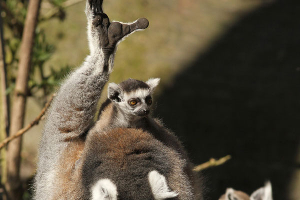 lemur 30 Lovely Pictures of Baby Animals