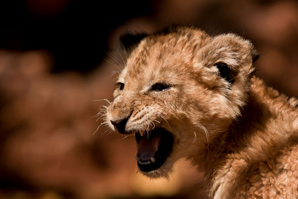lion cub 30 Lovely Pictures of Baby Animals