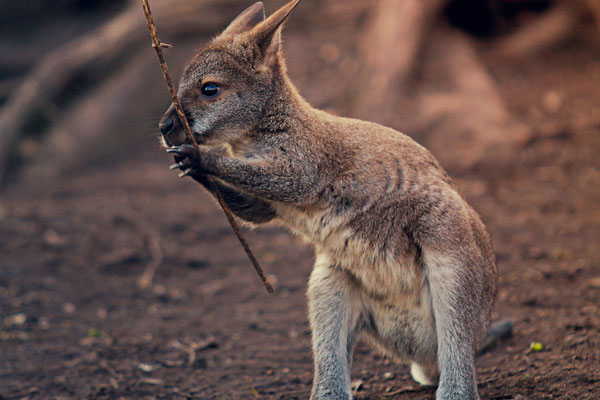 little kangaroo baby 30 Lovely Pictures of Baby Animals
