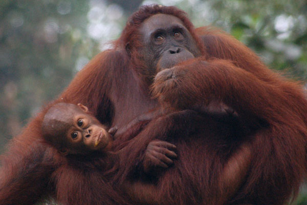 orang utan 30 Lovely Pictures of Baby Animals