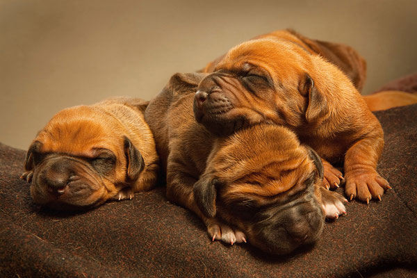 rhodesian ridgeback 30 Lovely Pictures of Baby Animals
