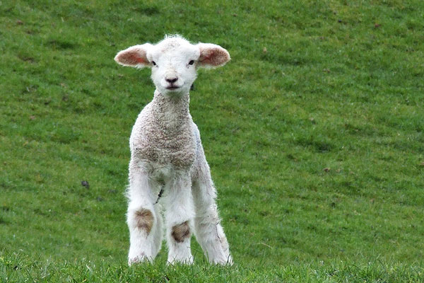 spring lamb 30 Lovely Pictures of Baby Animals