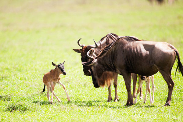wildebeest baby born 30 Lovely Pictures of Baby Animals