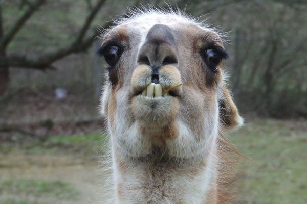 funny llama 50 Hilarious Pictures Which Are Drool Worthy