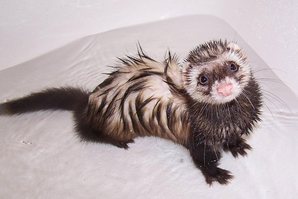 wet ferret 50 Hilarious Pictures Which Are Drool Worthy