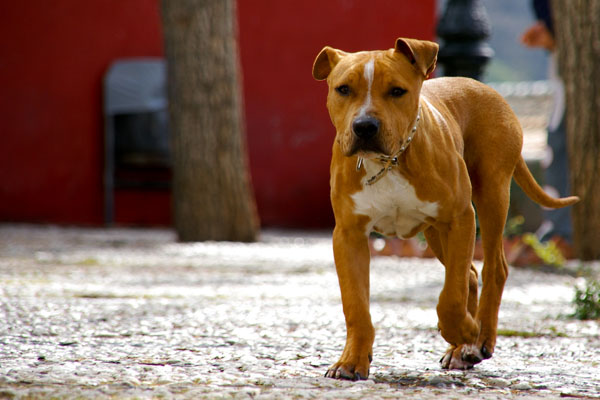 Walking Pitbull