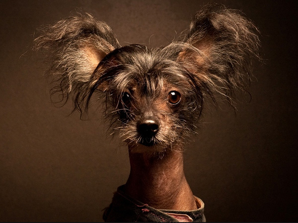 chinese crested dog 45 Funny Dog Pictures Which Will Bring Smile On Your Face