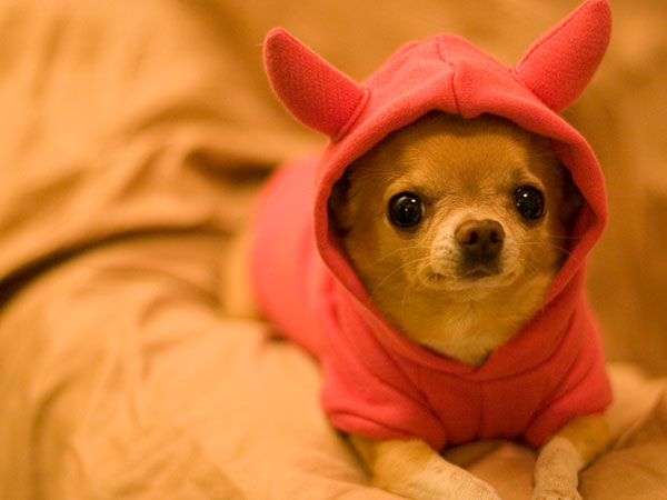 baby devil goat 25 Cool Pictures of Chihuahuas