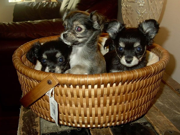 chihuahuas basket 25 Cool Pictures of Chihuahuas