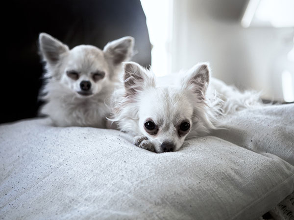 chilling chihuahuas 25 Cool Pictures of Chihuahuas