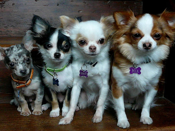fantastic four 25 Cool Pictures of Chihuahuas