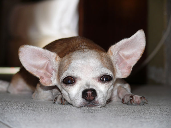 Chihuahua At Rest